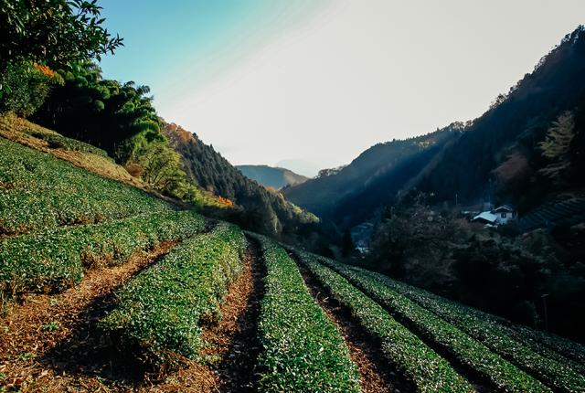 鎌沢の茶畑